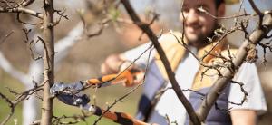man pruning tree Minter Country Garden