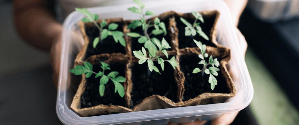 tomato seedlings growing