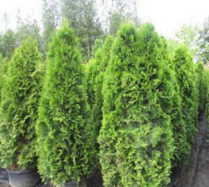 cedar trees Minter Country Garden
