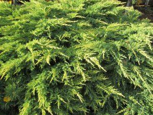 evergreen foliage Minter Country Garden