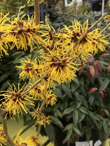 witch hazel blooming Minter Country Garden