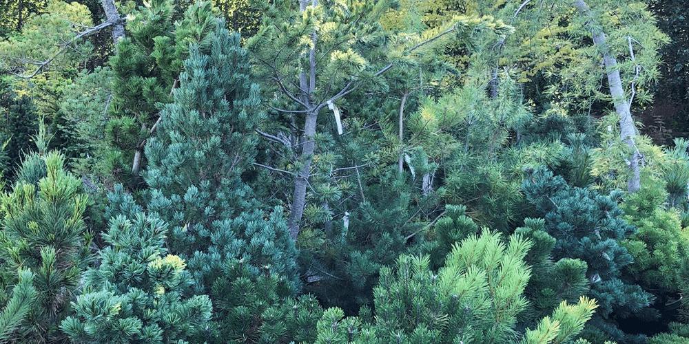 Pruning Evergreens