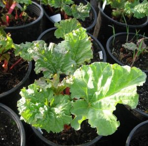rhubarb plant in pot Minter Country Garden