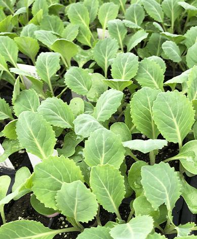 cold hardy veggies