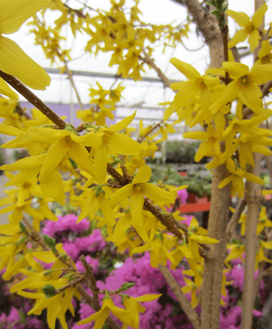 forsythia with yellow blooms