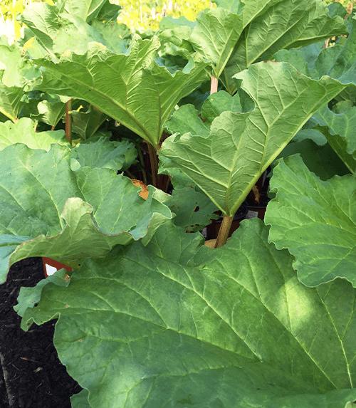 rhubarb foliage