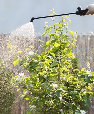 man spraying fruit tree