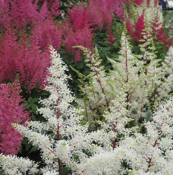 astilbe plant