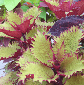 coleus plant Minter Country Garden