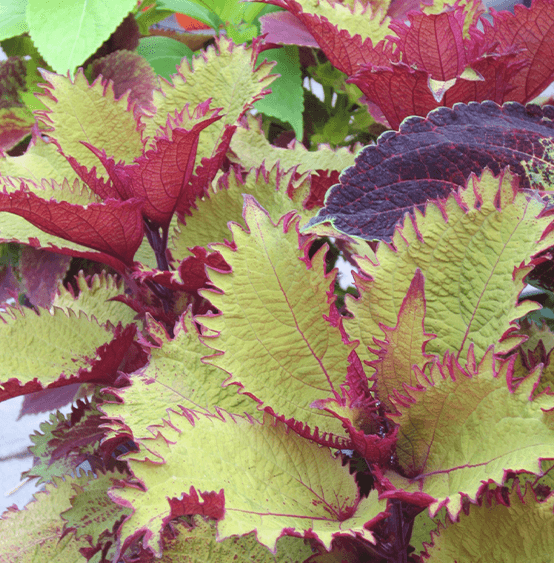 coleus plant