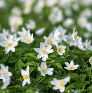 wood anemone Minter Country Garden
