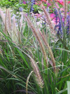 ornamental grass Minter Country Garden