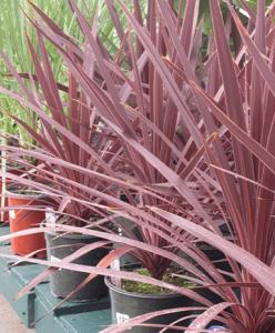 red dracaena spike Minter Country Garden