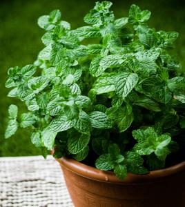 mint herb Minter Country Garden