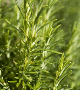 rosemary herb Minter Country Garden