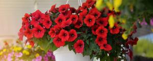 Summer Hanging Basket Care for June Minter Country Garden