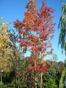 maple tree Minter Country Garden