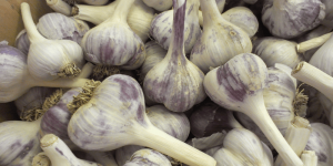 garlic bulbs Minter Country Garden