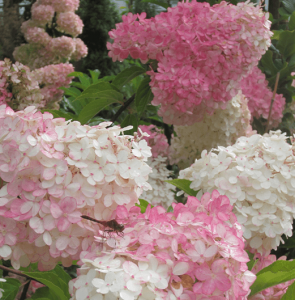 panicle hydrangea Minter Country Garden