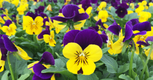 yellow and purple pansy flowers Minter Country Garden