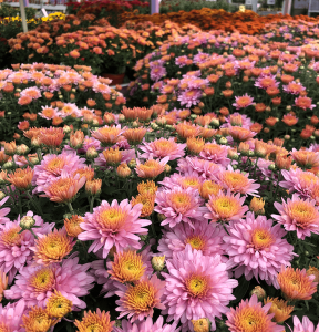 chrysanthemum blooms Minter Country Garden