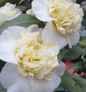 Minter country garden white flowers