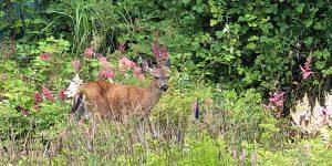 deer in garden Minter country gardens