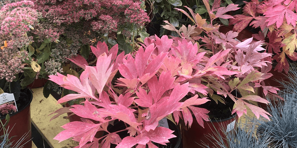 Exceptional Fall Colour from Unexpected Plants