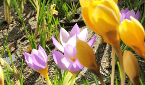 crocus flowers Minter country garden
