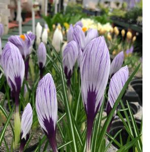crocus purple flower minter country gardens