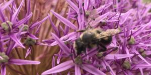 allium bloom with bee Minter country garden